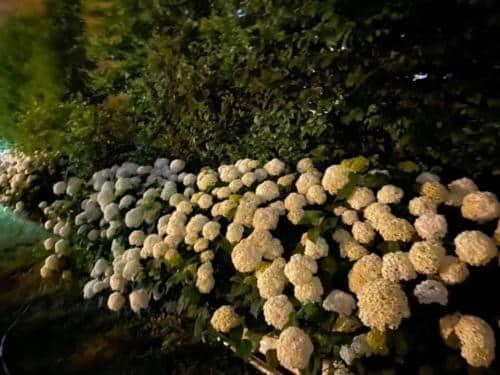 Hydrangeas in a June night.