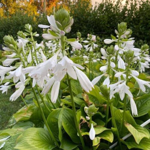 The Flowers of Mezzacello