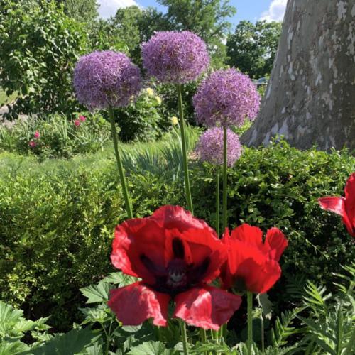 Poppy, Alium and Peony in the pollinator Landing strip.