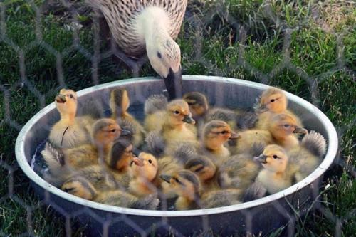 urban-overview-swimming-ducklings